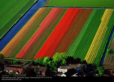 More  than three billion tulips are grown each year in the Netherlands and two-thirds of the  vibrant blooms are exported, mostly to the U.S. and Germany.