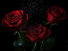 dark red roses - Google Search