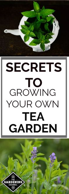 Grow your own tea garden.  There are many plants that can be used for tea that are easy to grow yourself.  Get ideas for growing your own tea.