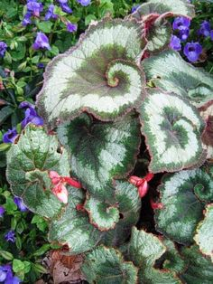in my tropical garden I adore Begonias! Must find this one to add to my back yard garden!