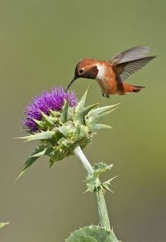Track hummingbird migration and make your yard hummingbird-friendly | National Audubon Society Birds