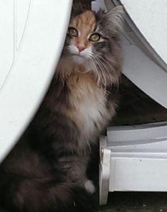 Norwegian Forest Cat. Bosque de Noruega.