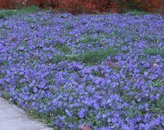 Vinca minor = blauwe maagdenpalm – bodembedekker voor zon/schaduw – sterke groei, goede bodembedekker – kleine eironde groene blaadjes, ook in de winter – blauwe bloemen in april – juni – hoogte: 20 cm – 8 à 10 planten/m² --> ongeveer 5m² in de voortuin!