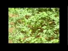 #  Moringa Fights Malnutrition - Discovery Channel Documentary   http://www.bodymiracles.org