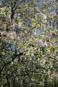 Crab Apple Tree: Blooming in April 2012 in Lake Forest, IL
