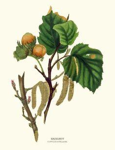 Hazelnut tree (Lieska) - I can pick my own hazelnuts (lieskove orechy) like when I was a kid. this is so happening!