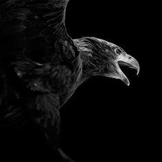 Águila real | Aquila chrysaetos