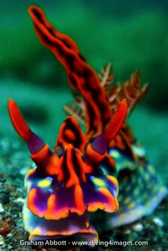 Ceratosoma magnifica This has to be one of the most striking nudibranchs out there.