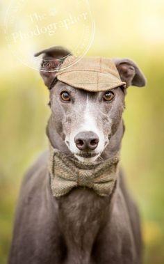 Greyhound 'Sherlock Bones' by The Phodographer - dog photographer York
