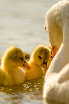 ducklings are just too cute! Love Birds, Beautiful Birds, Animals Beautiful, Beautiful Babies, Beautiful Things, Farm Animals, Cute Animals, Baby Ducks, Wale