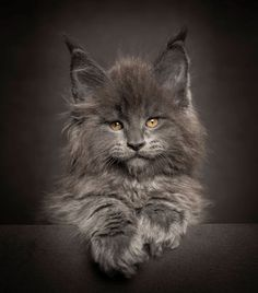 chat-main-coon-08                                                                                                                                                     Plus