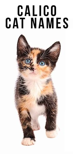 Calico Cat Names - 250 Great Ideas For Naming Your Calico Kitten Kittens calico kittens Kitten Names Unique, Cute Cat Names, Unique Cats, Animal Names Unique, Female Cat Names Unique, Puppies Names Female, Puppy Names, Gato Calico, Calico Cats