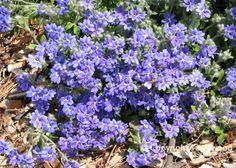 Hebe 'Snowdrift' | Plant Palette - Shrubs & Hedges | Pinterest ...