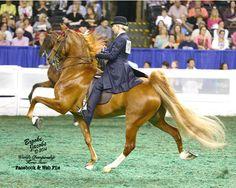 Wowza American Saddlebred, Horse Tail, My Horse, Pretty Horses, Beautiful Horses, Dressage Saddle, Animal Crackers, Horse Saddles, Horse Breeds
