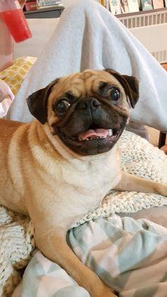 adiemtocarpe: Happiest pug that ever pugged.