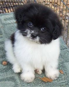 Adorable Little Baby Pomapoo Puppy (Pomeranian / Poodle) Designer Puppy - Aww, I want! Cute Puppies, Cute Dogs, Dogs And Puppies, Doggies, Pomeranian Puppy, Chihuahua, Baby Animals, Cute Animals, Female Dog Names