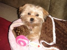 Susie is my precious Shorkie tzu.  She has brought so much laughter and fun to my life. I don't know what I'd do without her