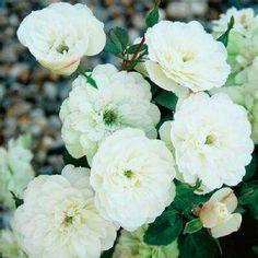 """本日の薔薇""""  ^^  グリーン アイス[Green Ice] アメリカ Moor作 1984年   「ミニチュアローズの人気品種です。咲き始めはうっすらとピンク、開くに従いクリーム、ホワイト、のちにミントグリーンに変化。花はロゼット調のポンポン咲き、中央にグリーンアイ。毎年いっぱいの花蕾をつけ、秋遅くまで咲き続けます。耐病性もあり、しかも簡単で初心者の方におすすめです。  花径:3~4cm 樹高:0.3m 四季咲き その他:香⇒ほのかな香り  ※京阪園芸ガーデナーズのラルフムーアのバラはこちらから→ http://www.keihan-engei-gardeners.com/fs/keihangn/c/ralph"""