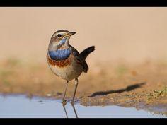 Birds of Israel- a sneak peak - הושבילים - Hoshvilim