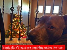 He kept looking at the tree, as if waiting for something from Santa! He had this PIT-iful look!