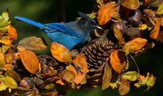 A gorgeous Stellar's Jay on a sunny fall day.