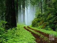 Unpaved Road in Redwoods Forest Photographic Print by Darrell Gulin