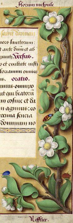 Nefflier - Florum mespule (Mespilus germanica L. = néflier en fleurs) -- Grandes Heures d'Anne de Bretagne, BNF, Ms Latin 9474, 1503-1508, f°174r