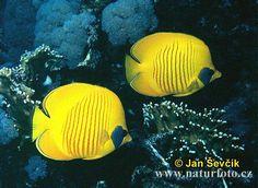 Golden Butterfly fish