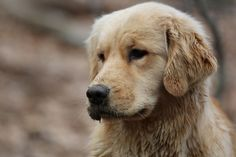 PoeticGold Farm Dog Training & Golden Retrievers in Falmouth, Maine: Mud Season!