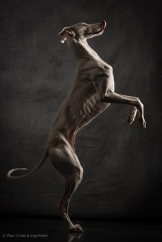 Galgo - Paul Croes