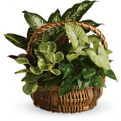 Order Emerald Garden Basket from Villere's Florist, your local Metairie florist. Send Emerald Garden Basket for fresh and fast flower delivery throughout Metairie, LA area. Garden Basket, Plant Basket, Dish Garden, Rope Basket, Garden Pizza, Sympathy Plants, Sympathy Flowers, Indoor Flowering Plants, Blooming Plants
