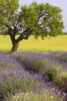 Lone Tree, Lavender and Mustard Fields Near Valensole, Provence, France-Brian Jannsen-Photographic Print Landscape Art, Landscape Paintings, France Landscape, Valensole, Meadow Garden, Lone Tree, Provence France, Lavender Fields, Lavender Blue