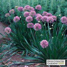 Pink Allium Millennium, Allium Millennium, Millennium  Ornamental Onion : Good for the Roses : Spring Planting