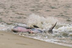 Dolphins Strand Feeding - Lisa Gaiser Photography