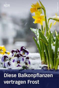 Im März kann es noch einmal frostig werden - das verträgt nicht jede Blume. Tipps für robuste Balkonpflanzen. Plants, Balcony Plants, Summer Flowers, Ornamental Plants, Garden Centre, Plant, Planets