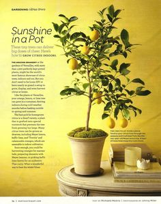 i love this post on (indoor) orange trees from little green notebook. i want a meyer lemon tree. We got one for a wedding present and its making flowers for the summer right now!!