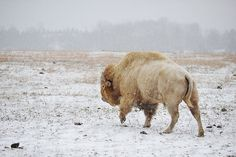White buffalo are American bison, that are. Types Of Animals, Animals Of The World, Animals And Pets, Majestic Animals, Animals Beautiful, Live Action, White Bison, Buffalo Animal, Buffalo Art
