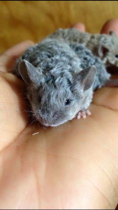 Blue Texel Cute Creatures, Beautiful Creatures, Funny Animals, Cute Animals, Small Animals, Les Rats, Baby Hamster, Rodents, Hamsters