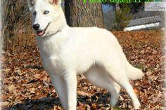 Mix, Adorable Animals, German Shepherd Husky Mix, German Shepherd ...