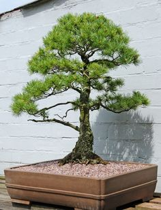 Japanese White Pine Bonsai Tree (Pinus parviflora) by Steve Greaves