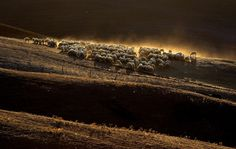 """Sheep grazing on a field at the """"Crete Senesi"""" (Siennese clays) area near Asciano, Italy. (Reuters)"""