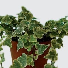 piante da interno, piante da camera da letto: maranta | fiori e ... - Piante Da Camera Da Letto