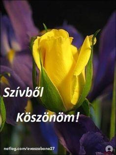 köszönöm szépen - Google keresés Ponds Backyard, Floral Photography, Shades Of Purple, Rose Buds, My Flower, Yellow Flowers, Tulips, Beautiful Flowers, Nature