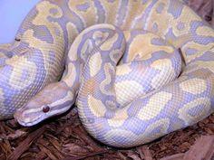 Caramel Glow Ball Python...gorgeous!