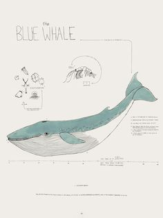 The Blue Whale - by Rebekka Connelly Whale Illustration, Watercolor Illustration, Dyi Painting, Whale Drawing, Whale Tattoos, Save The Whales, Fish Wall Art, Whale Art, Sea Fish