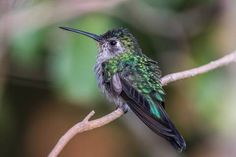 Ruby-throated hummingbird, by Tony LePrieur on flickr