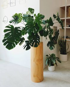 Thanks to @plantastic_planet for capturing this glamour shot of our #Monstera over at @poketo Project Space in DTLA! #monsteradeliciosa #swisscheeseplant #indoorplants Potted Plants, Indoor Plants, Swiss Cheese Plant, Buy Plants Online, Monstera Deliciosa, Glamour Shots, House Plants, Planter Pots, Projects