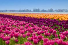 Tulip Field in the Nertherlands