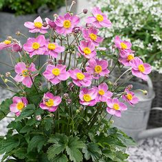 Anemone Fantasy 'Cinderella' Growing Conditions: Full sun Size: 12–18 inches tall, 18–24 inches wide Zones: 5–8