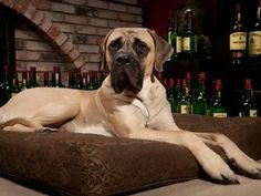 English Mastiff, Wallpaper, Image, Dog, Wallpapers, Wall Papers